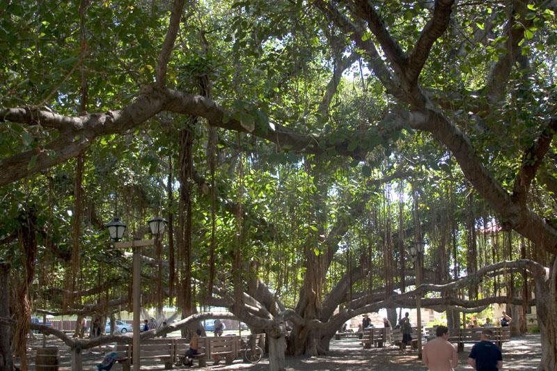 Banyan_tree_canopy